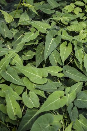 Chinese herbal medicine Polygonum multiflorum Фото со стока