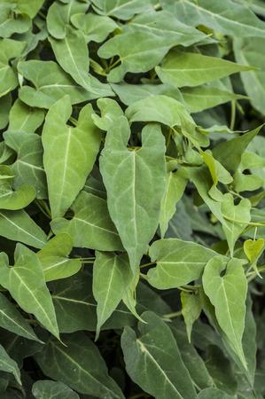 Chinese herbal medicine Polygonum multiflorum Stockfoto