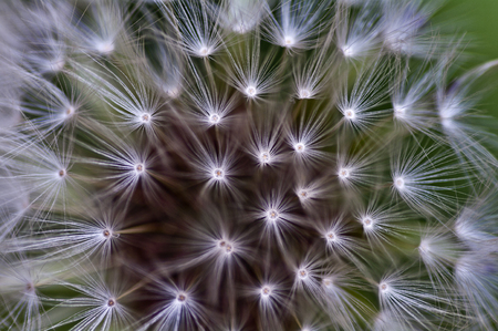 inulin: dandelion