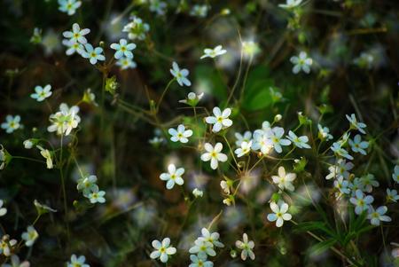 sour clover: Oxalis acetosella Stock Photo