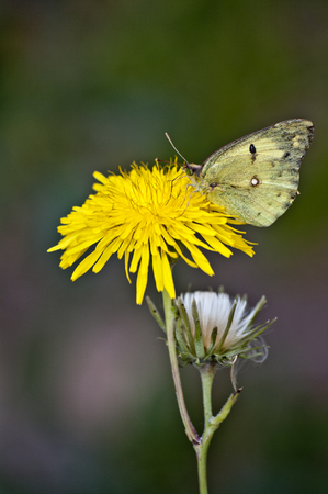 inulin: Dandelion and butterfly