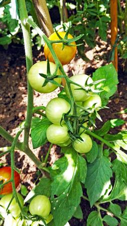 plantation of Cherry Tomatoes