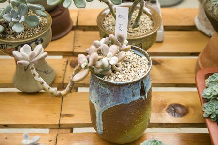 hua: Succulent plants Stock Photo