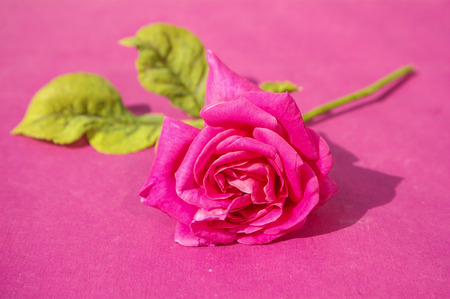 A rose Stock Photo