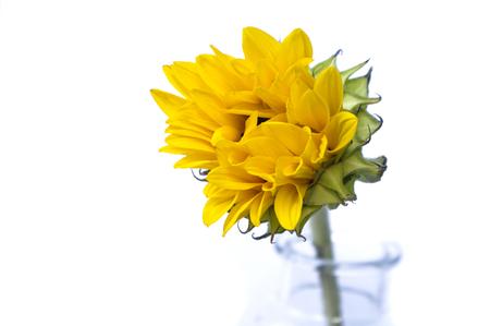 Sunflower on white background Stock fotó
