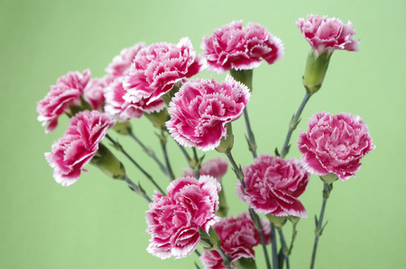 carnation on green background