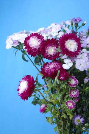 Dianthus chinensis and chrysanthemum flowers Stock Photo
