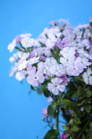 Dianthus chinensis Stock Photo