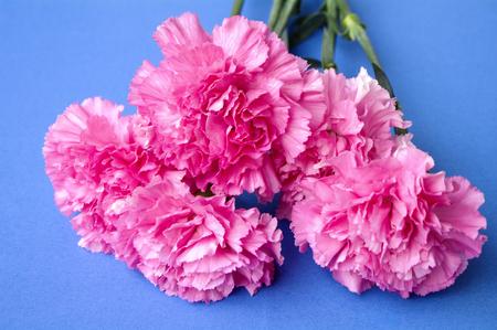 carnation on blue background