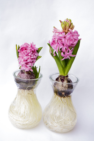 hyacinth in a board on white background