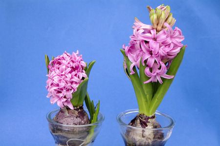 hyacinth in a pot on blue background