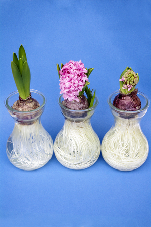 when: hyacinth in pots on blue background Stock Photo