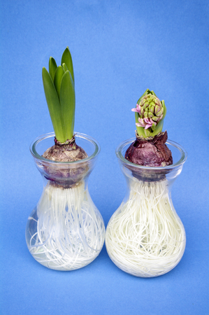hyacinth in pots on blue background Stock Photo