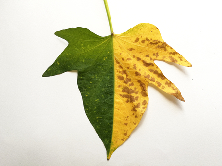 a half-yellow and half-green sweet potato leaf 스톡 콘텐츠