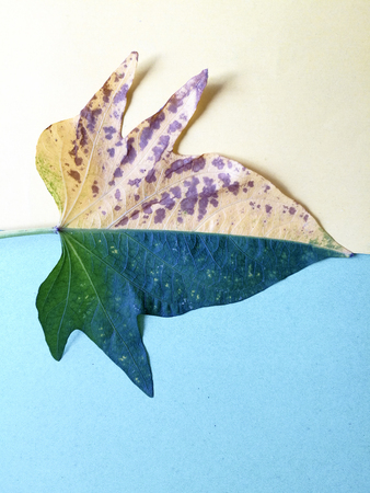 a half-yellow and half-green sweet potato leaf 版權商用圖片