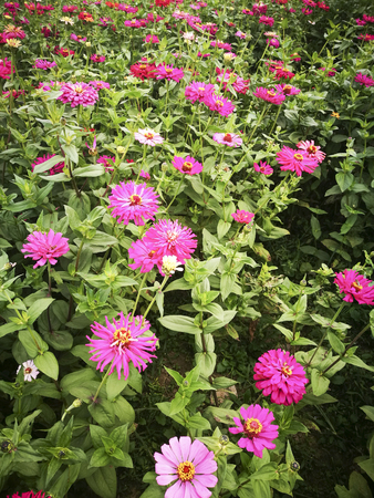 Zinnia in the botanical garden 版權商用圖片