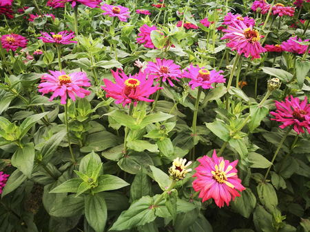 Zinnia in the botanical garden 스톡 콘텐츠