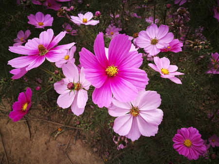 Cosmos in the park 스톡 콘텐츠