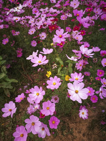 Cosmos flowers in the park
