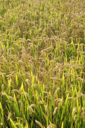 Harvest rice field