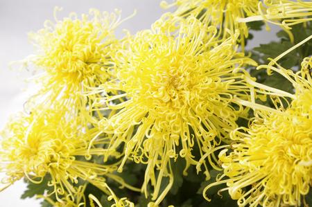 Yellow chrysanthemum 版權商用圖片