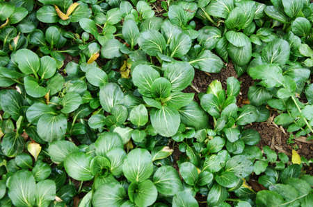 Small greens in the plantation