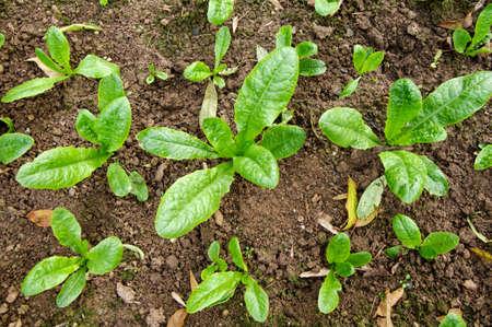 Lettuce in the plantation Stockfoto