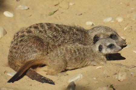 Meerkat cub with adult meerkat