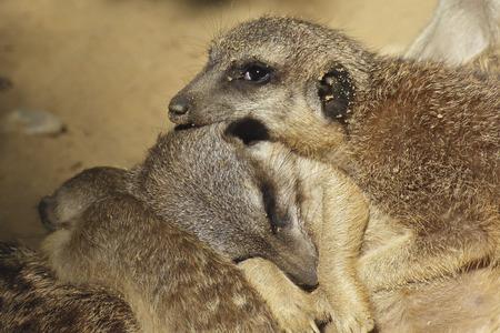 Sleeping meerkats in the family Stock Photo