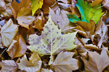 Fall leaves of a plane tree on the ground in a golden autumn