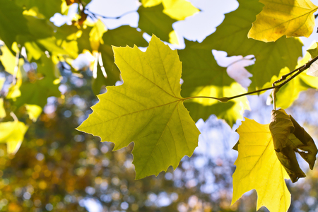 Leaves of a plane tree in a golden autumn
