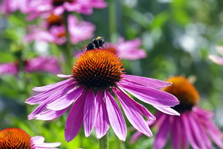 Coneflower with honey bee, Echinacea angustifolia