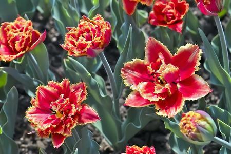 Tulip Gold Dust (Tulipa, Liliaceae), flowers in spring