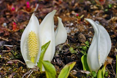 Blossom of East Asian White Mock Calla (Lysichiton camtschatcensis)