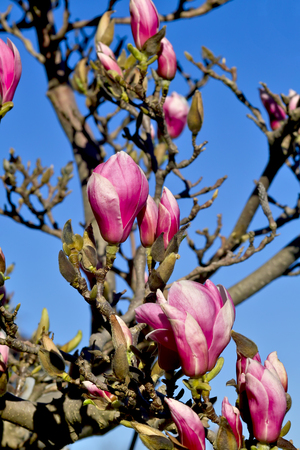 Magnolia, Magnoliaceae, buds and flowers in spring Stock Photo