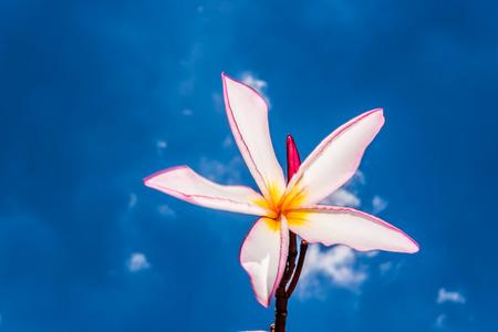 pink frangipani and blue sky photo