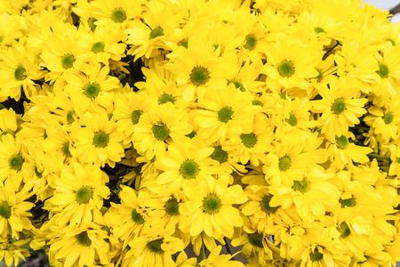 Yellow chrysanthemums as natural background photo