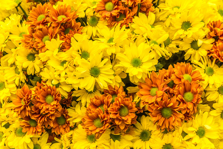 Beautiful flowers of chrysanthemums Stock Photo