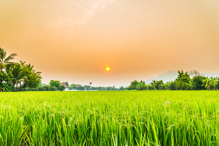field of thai: Beautiful paddy with nice background