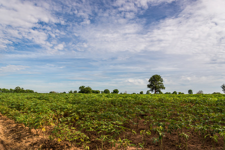a field of cassava plant in Thailand photo