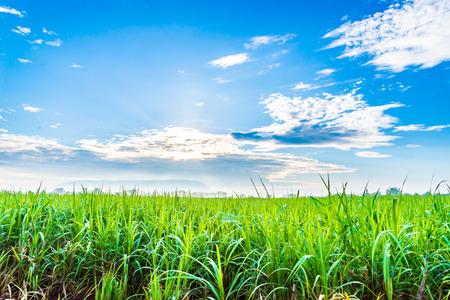sugarcane plants grow in field