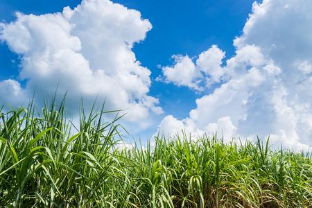 sugarcane plants grow in field photo
