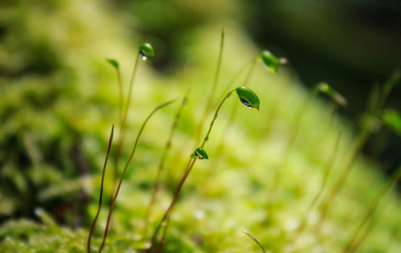 spore: Moss spore green and dew in morning