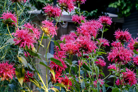The shrub of the blooming Red Monarda in the Garden Stock Photo