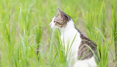 A kitty cat were walking and playing in the northern Thailand rice fields