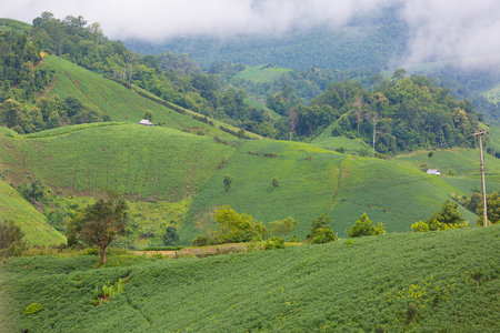 Tea farm landscape from the mountain with rainy cloudy sky in rain season in Northern Thailand