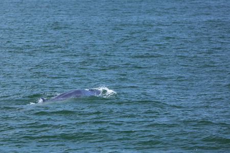 Brydes whale, Whale in gulf of Thailand