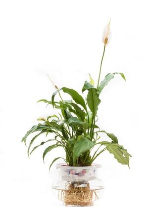 Spathiphyllum on whiteground