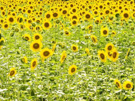 Petulant sunflower
