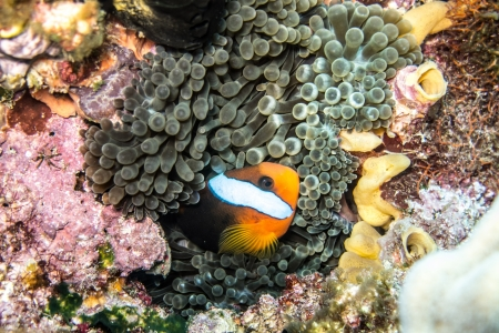 Anemonefish photo
